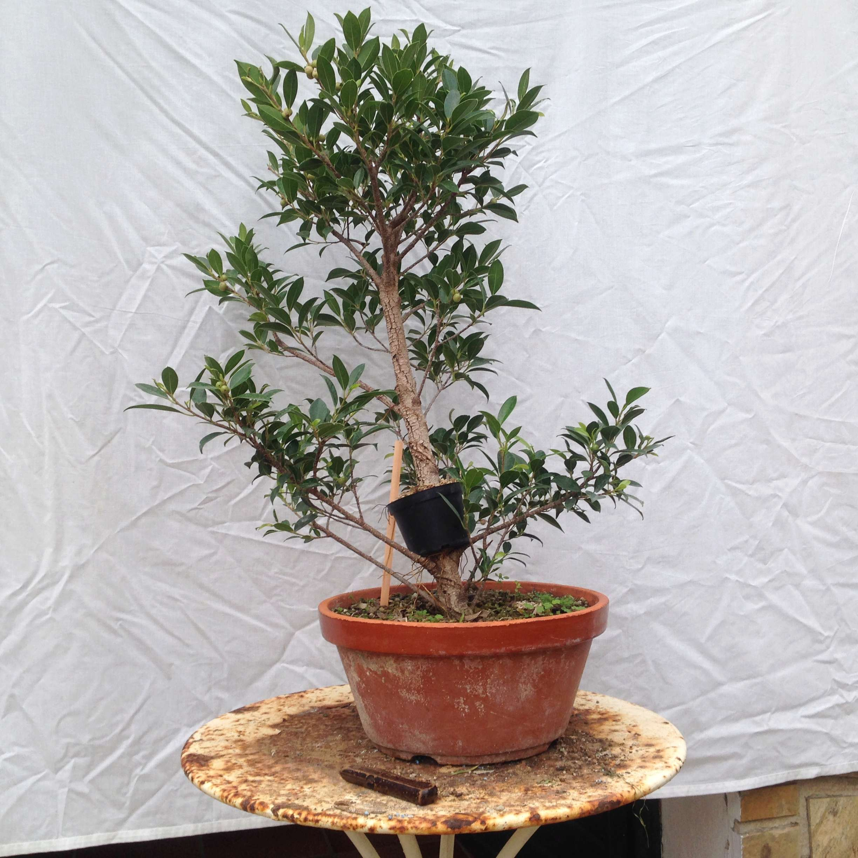 Ficus Retusa Microcarpa, ficus tiger bark Img_5341