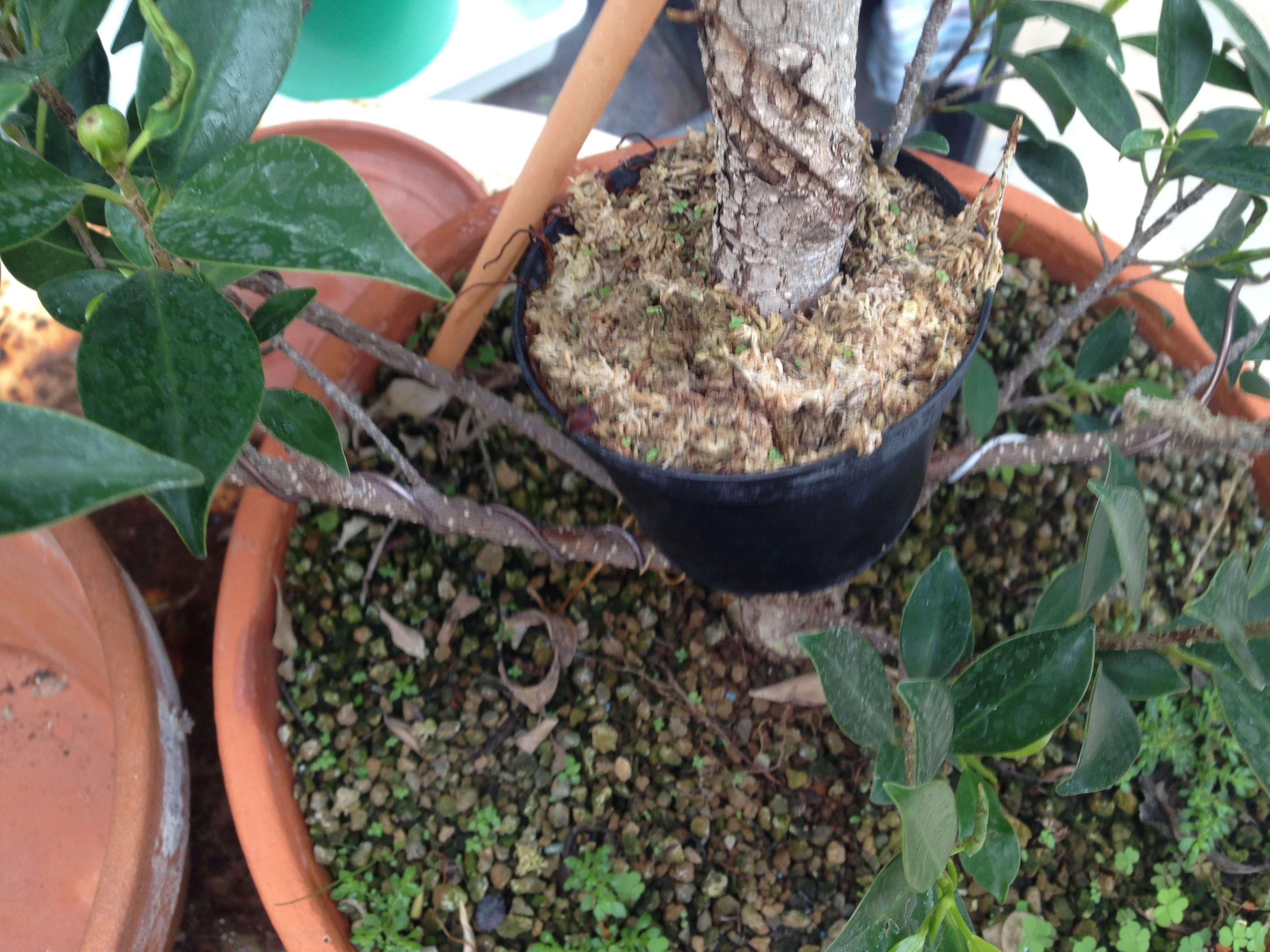 Ficus Retusa Microcarpa, ficus tiger bark Img_5342