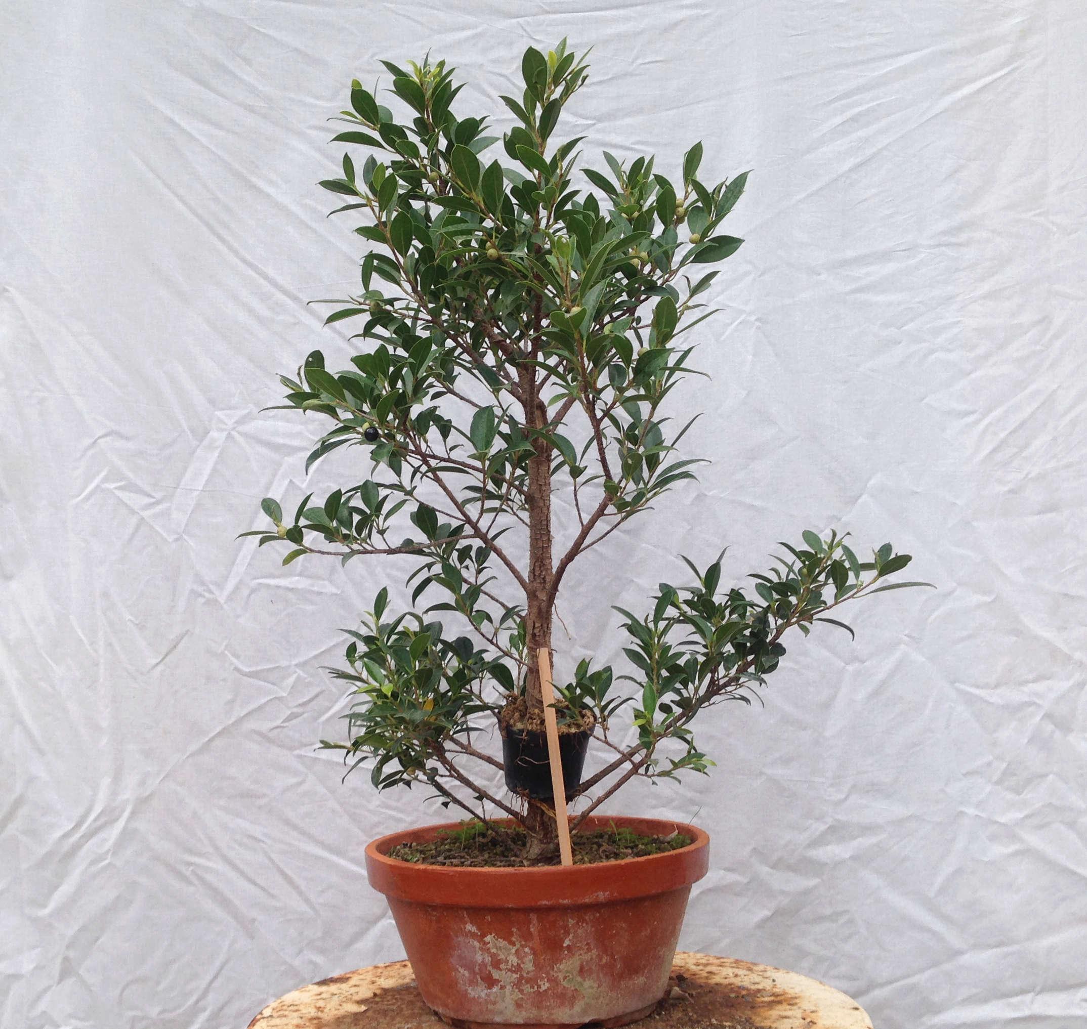Ficus Retusa Microcarpa, ficus tiger bark Img_5343