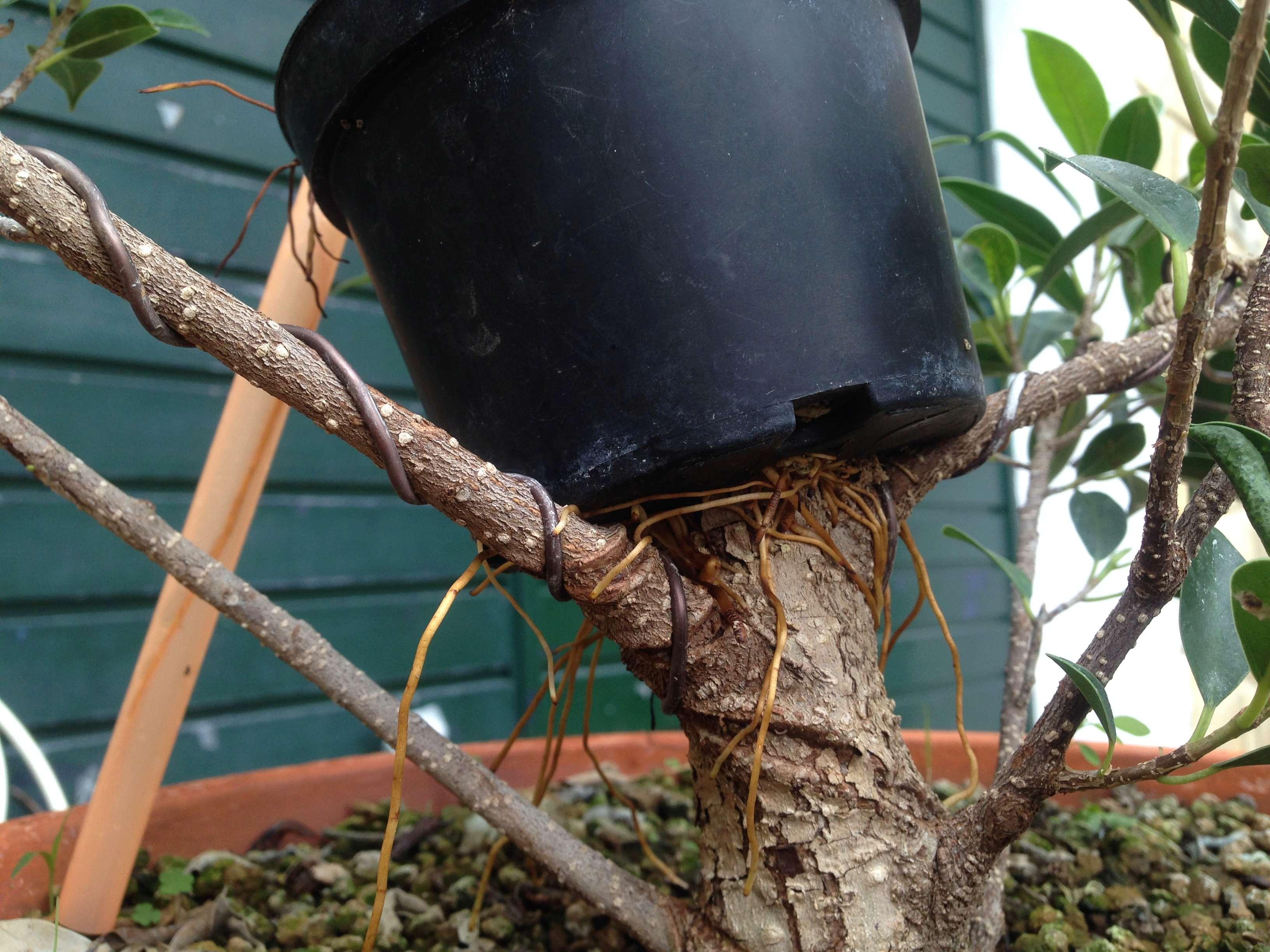 Ficus Retusa Microcarpa, ficus tiger bark Img_5345