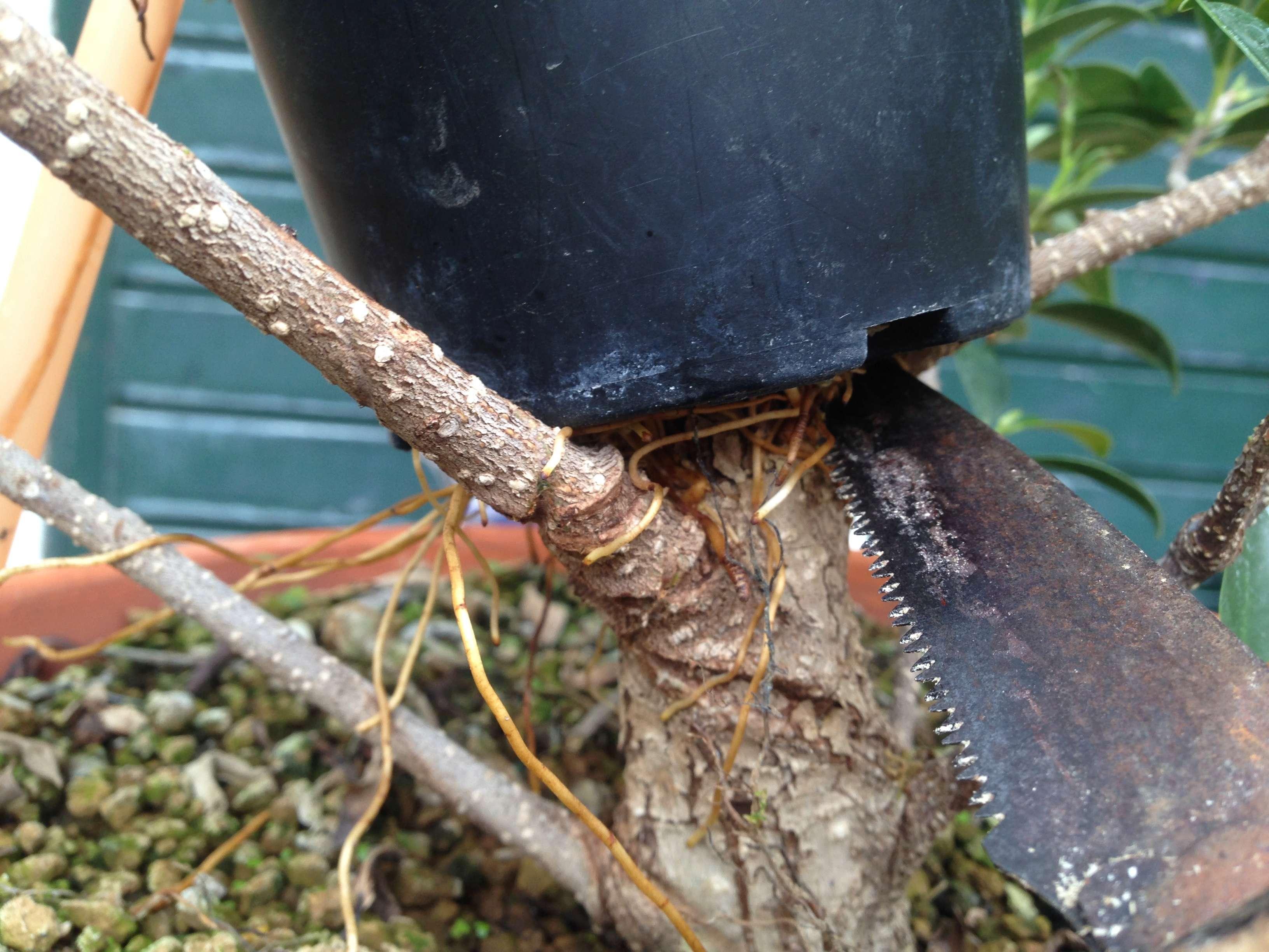Ficus Retusa Microcarpa, ficus tiger bark Img_5346