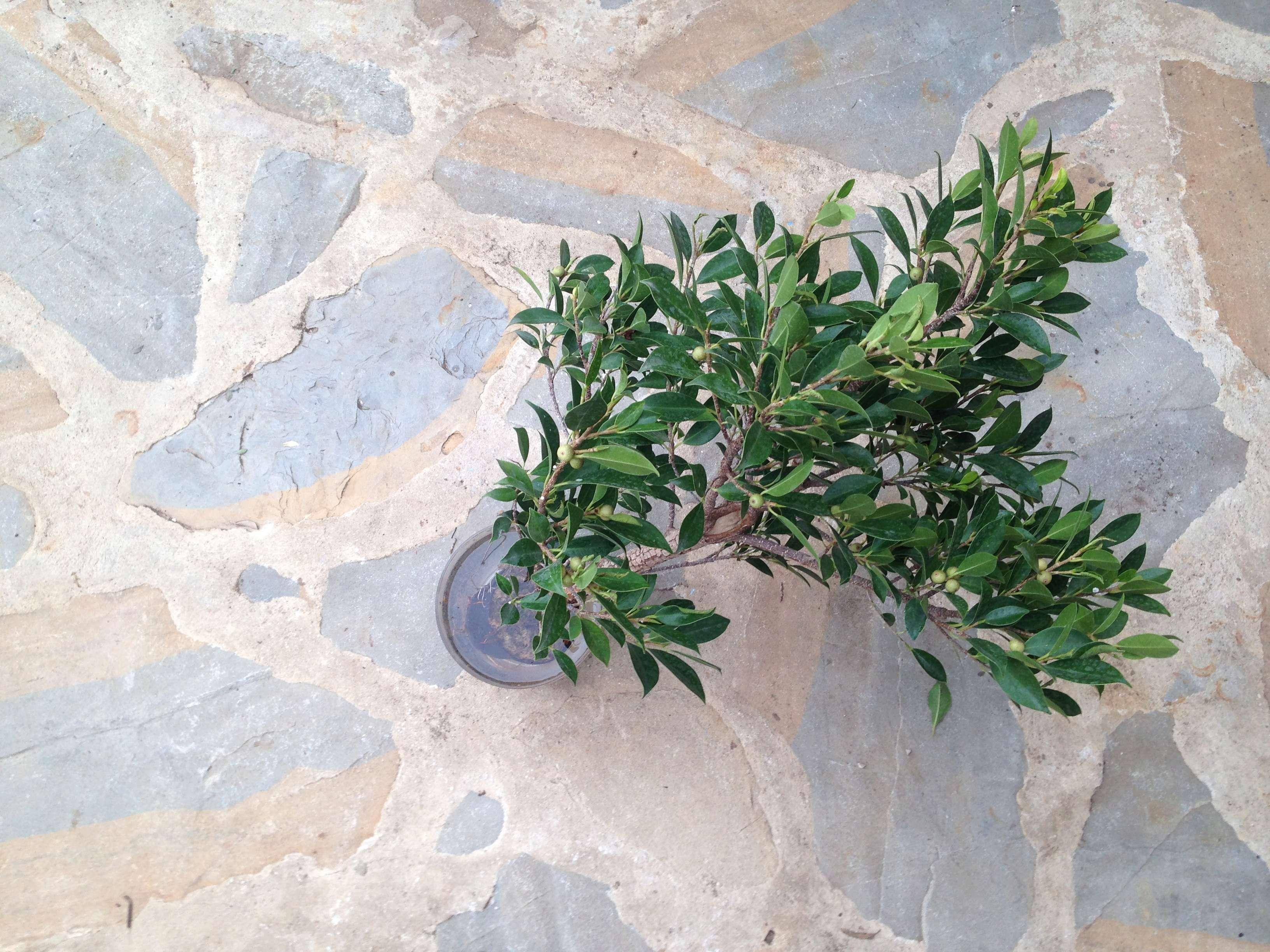 Ficus Retusa Microcarpa, ficus tiger bark Img_5349