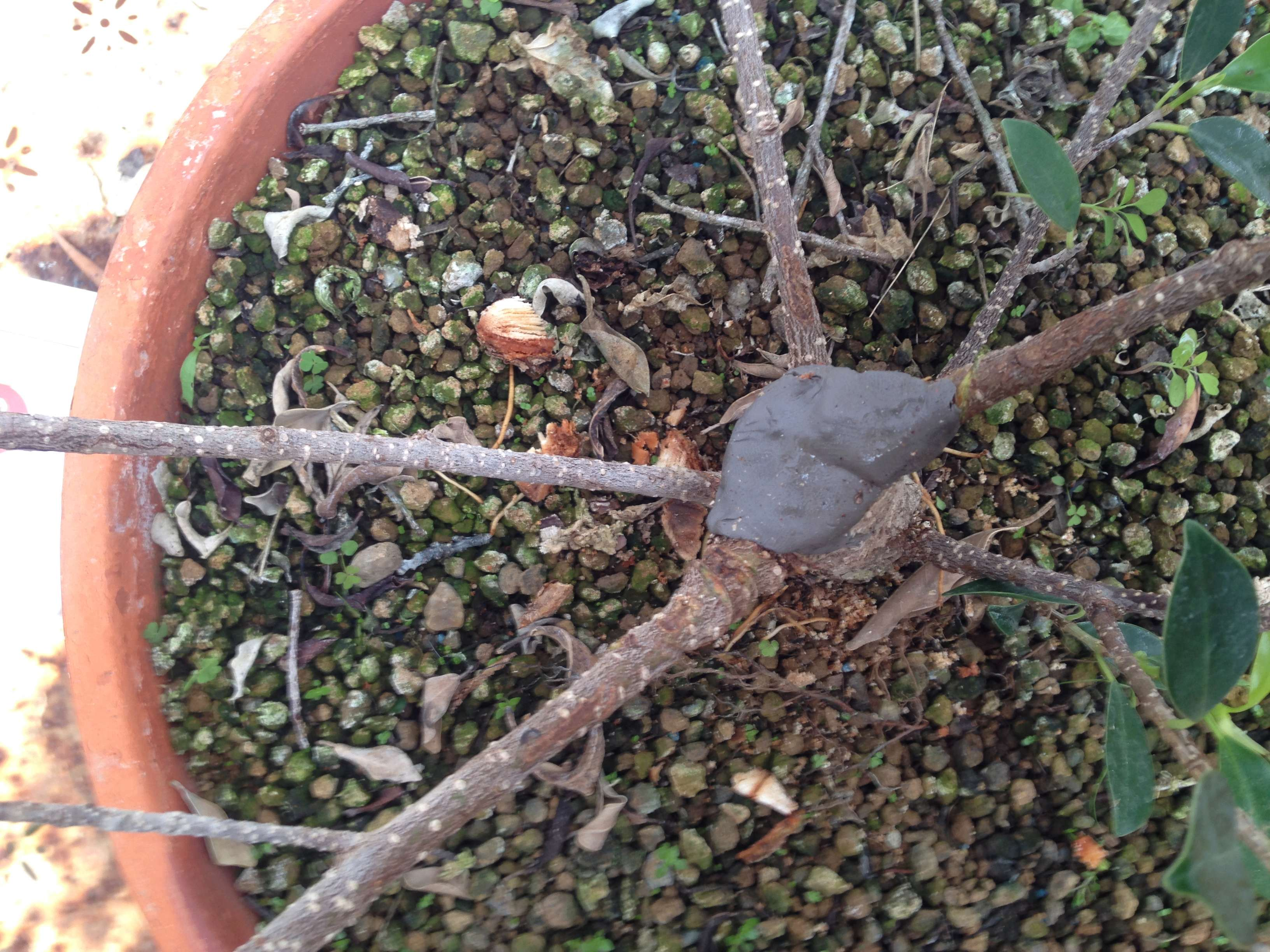 Ficus Retusa Microcarpa, ficus tiger bark Img_5351