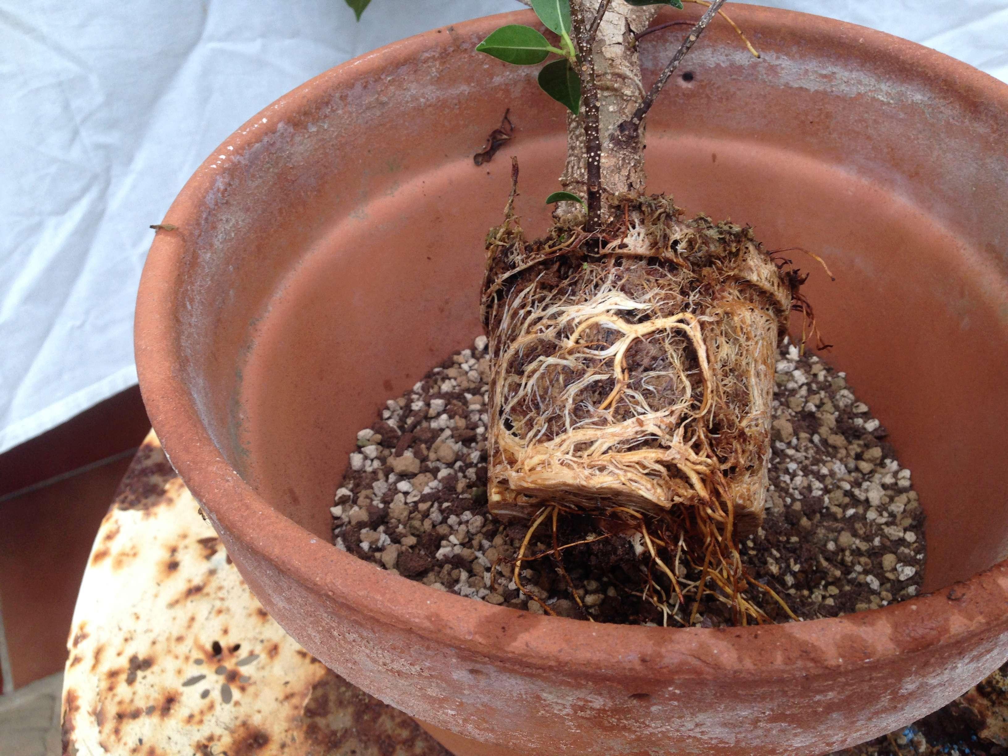 Ficus Retusa Microcarpa, ficus tiger bark Img_5353