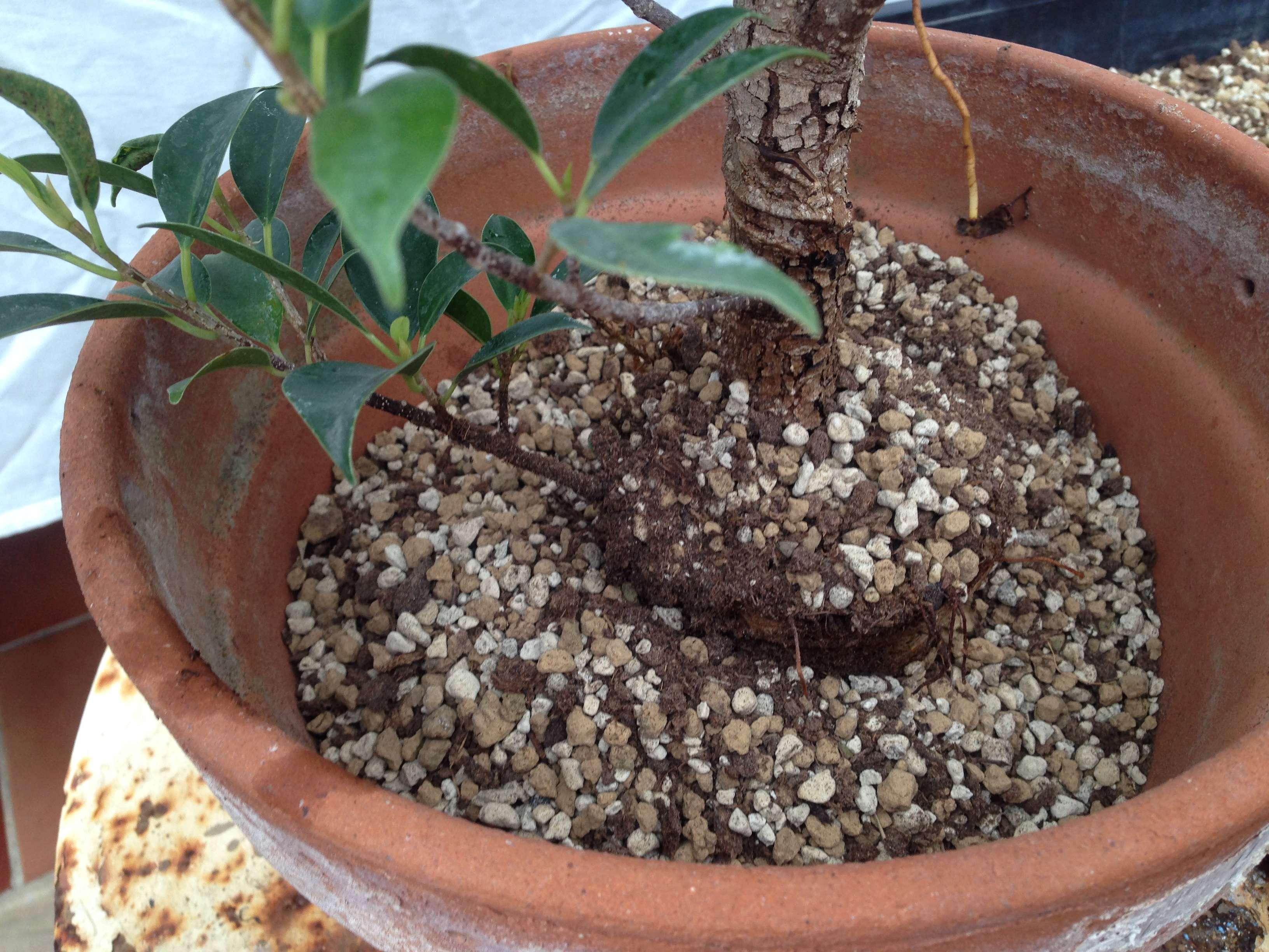 Ficus Retusa Microcarpa, ficus tiger bark Img_5354