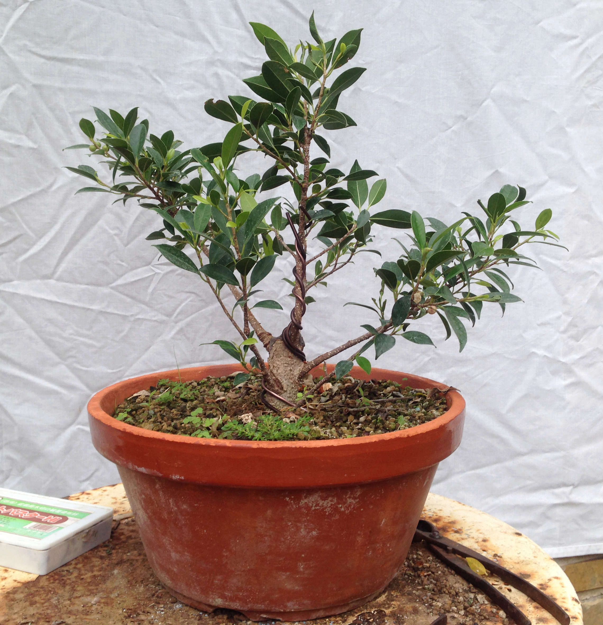 Ficus Retusa Microcarpa, ficus tiger bark Img_5355