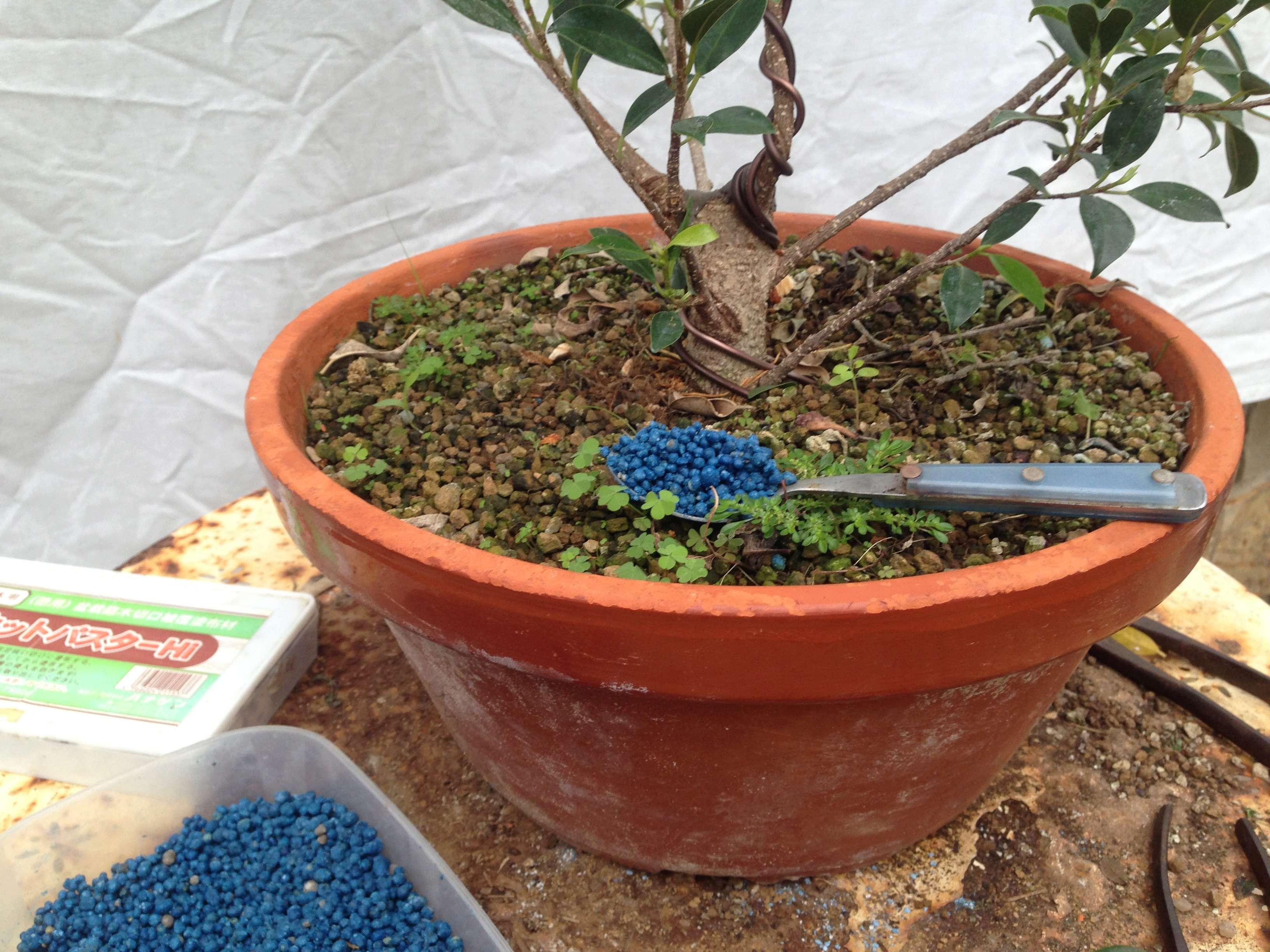 Ficus Retusa Microcarpa, ficus tiger bark Img_5357