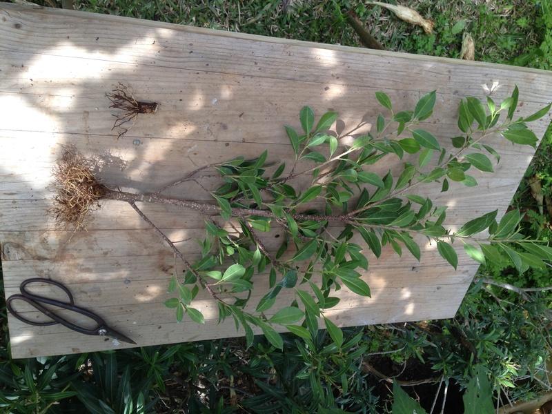 Ficus Retusa - Página 3 Img_7141