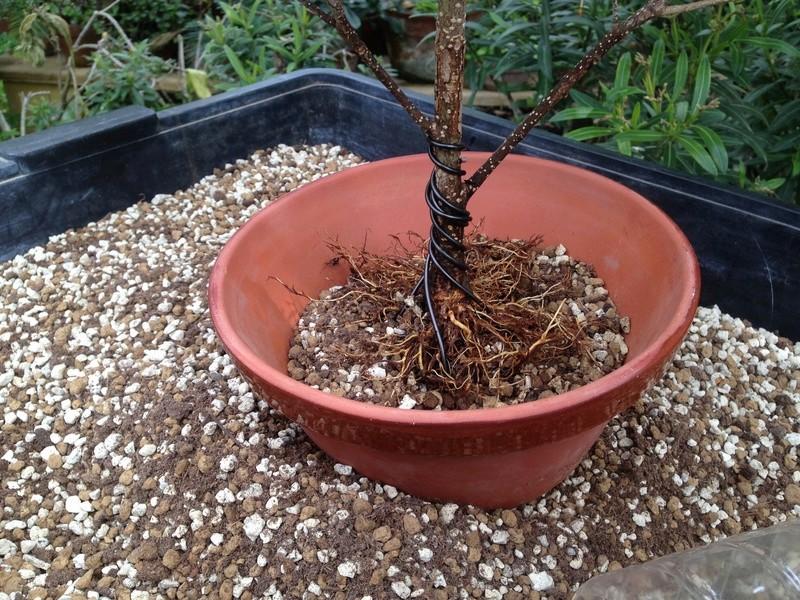 Ficus Retusa - Página 3 Img_7146