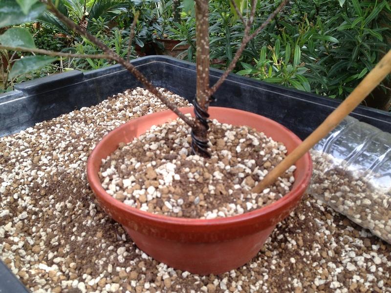 Ficus Retusa - Página 3 Img_7147