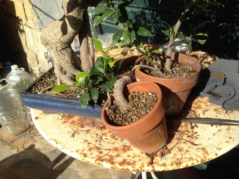 Ficus Retusa - Página 4 Img_7612
