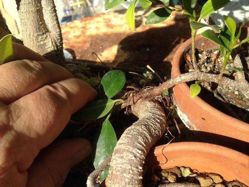 Ficus Retusa - Página 4 Img_7613