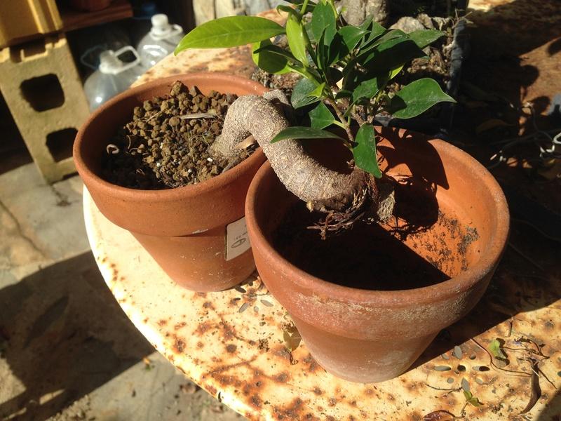 Ficus Retusa - Página 4 Img_7615