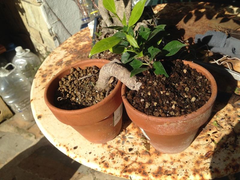 Ficus Retusa - Página 4 Img_7619