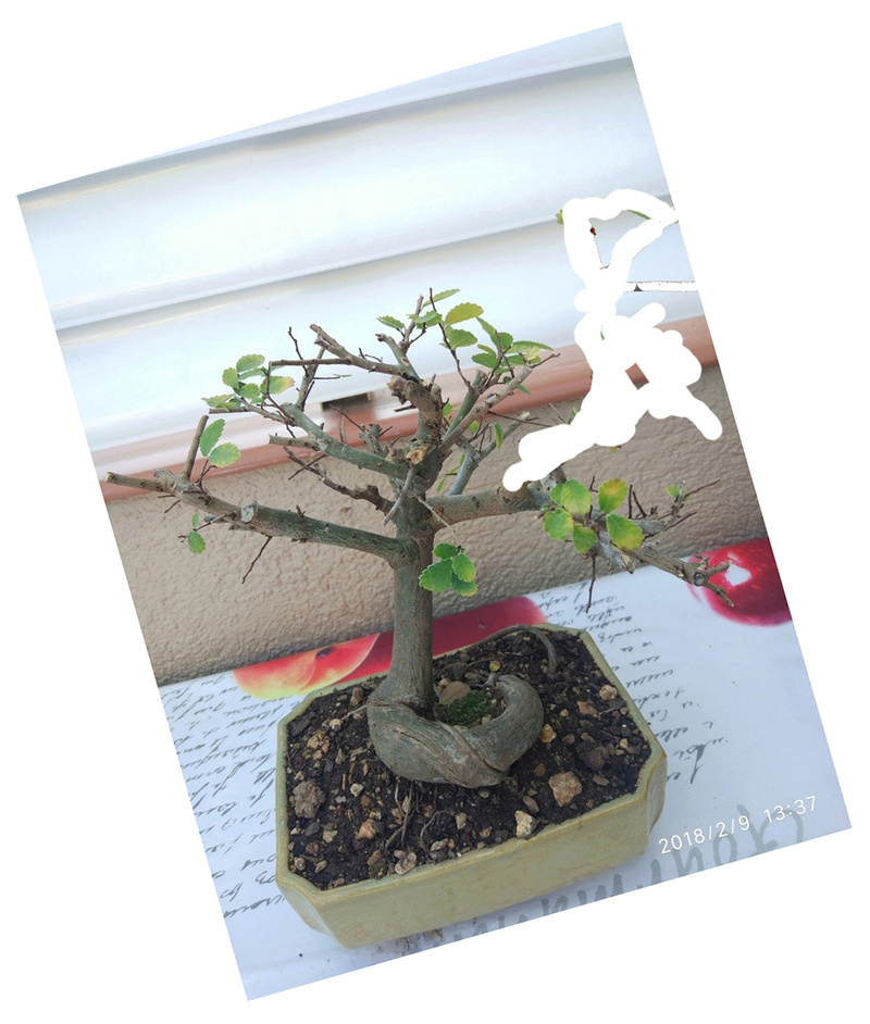 Mi primer bonsai (Olmo) Olmo10