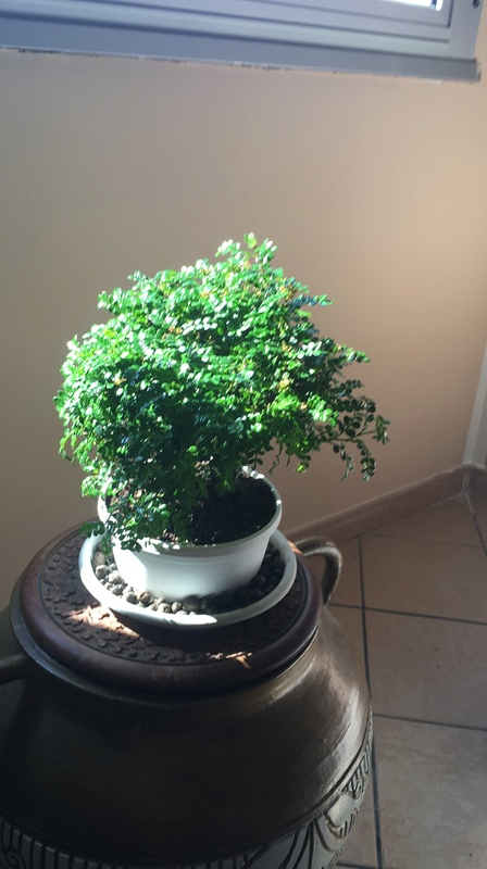 Il mio primo Bonsai: Zanthoxilum Piperitum Bonsai10