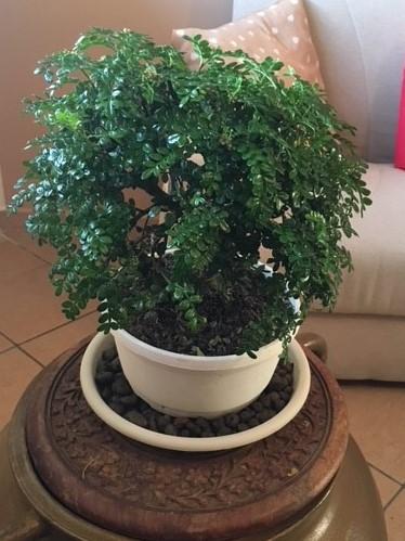 Il mio primo Bonsai: Zanthoxilum Piperitum Pic111
