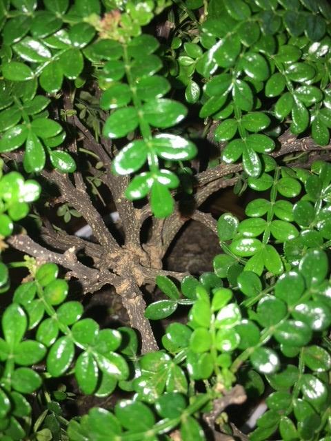 Il mio primo Bonsai: Zanthoxilum Piperitum Pic210