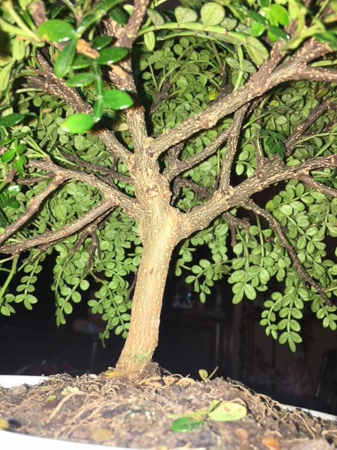 Il mio primo Bonsai: Zanthoxilum Piperitum Pic310