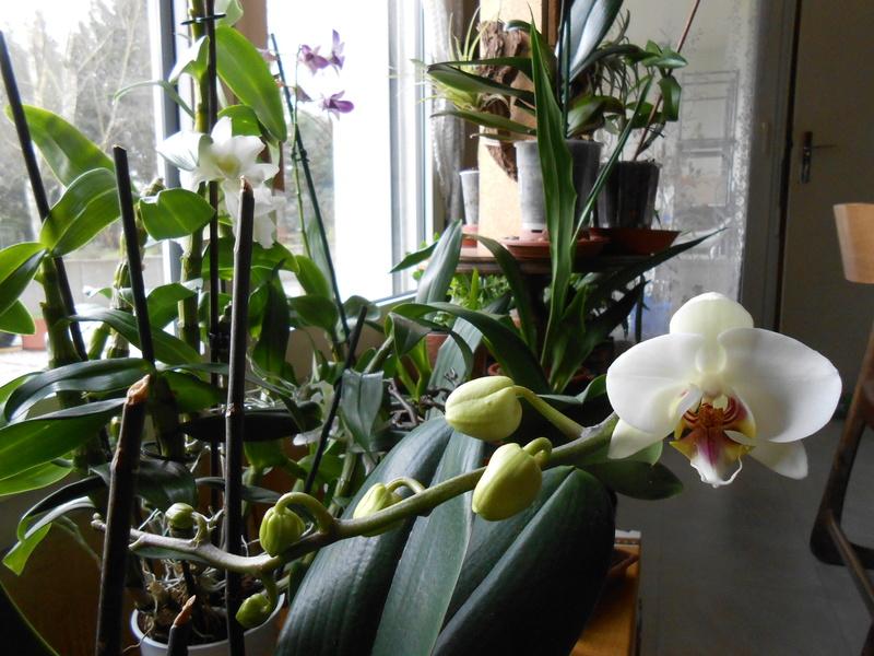 Phalaenopsis hybrides 10_20110