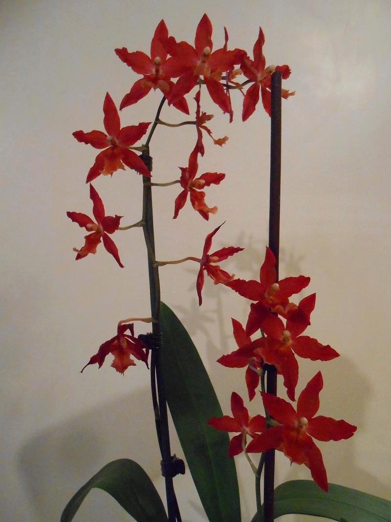 Floraison Oncidium hybride 15_20112