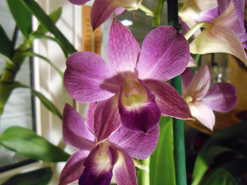 Dendrobium type Phalaenopsis 1_201710