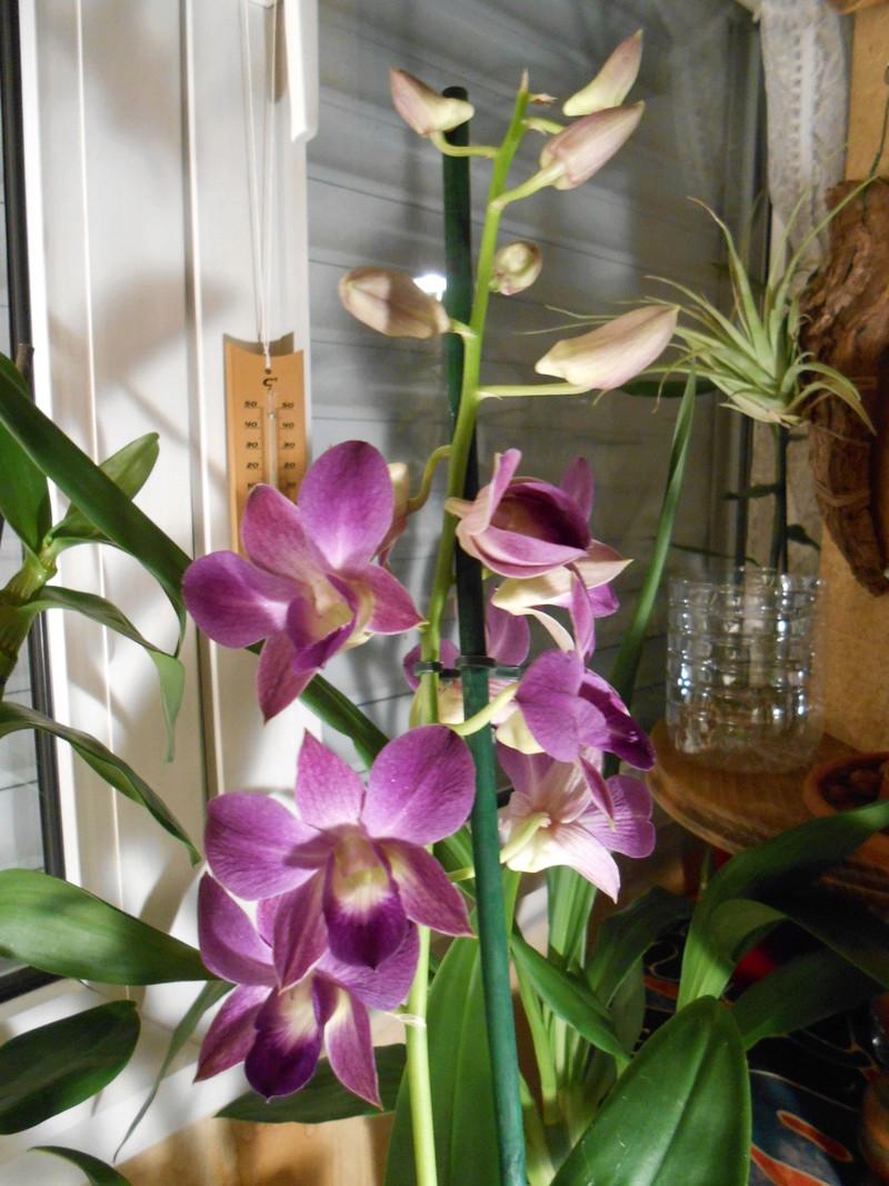 Dendrobium type Phalaenopsis 2_201710