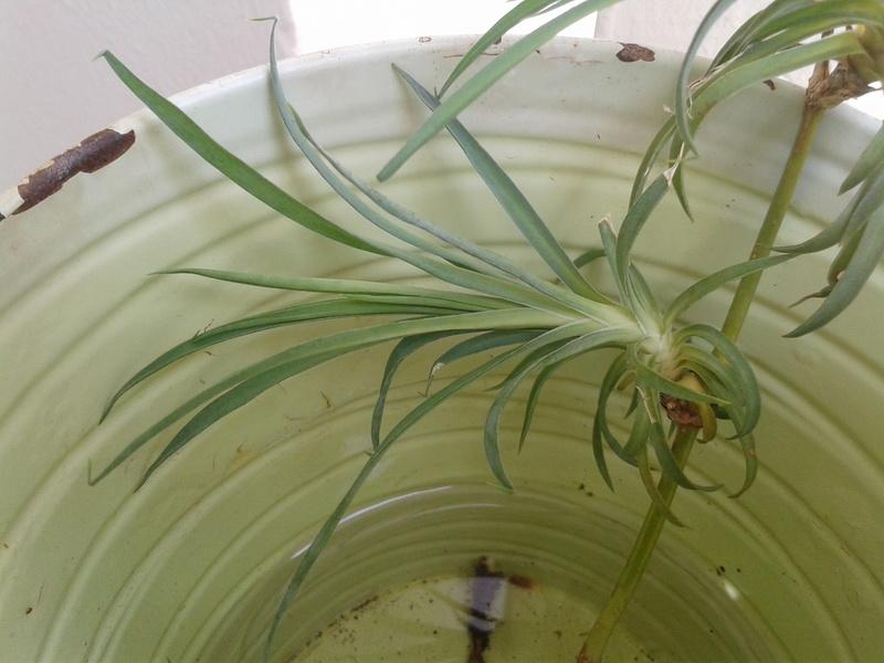C'est quoi ? chlorophytum Boutur10