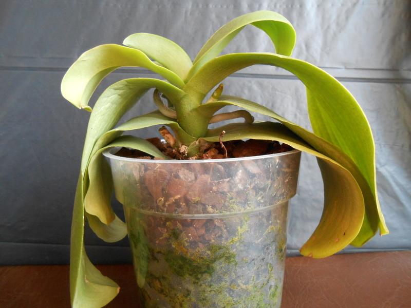 Phalaenopsis en perdition !! Dscn6312