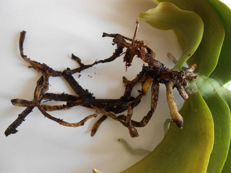 Phalaenopsis en perdition !! Dscn6313