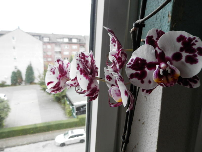Jörg´s kleine Orchideen Welt Barney13
