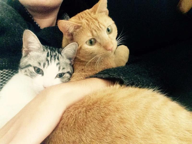 Noun - chaton gris et blanc - né en mai 2017 22279610