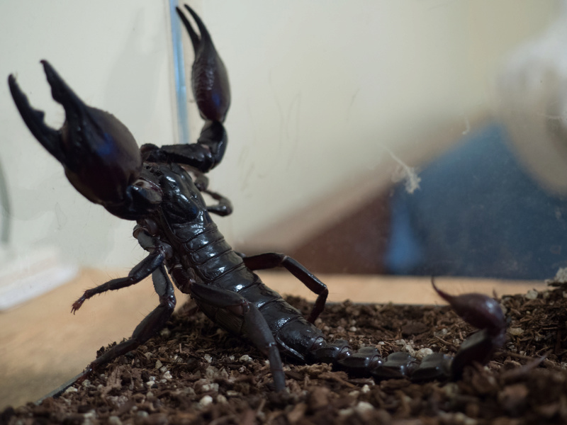 What Kind of Heterometrus do I have? Asian Forest Scorpion Mordek15