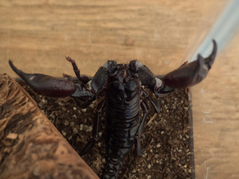 What Kind of Heterometrus do I have? Asian Forest Scorpion Mordek16