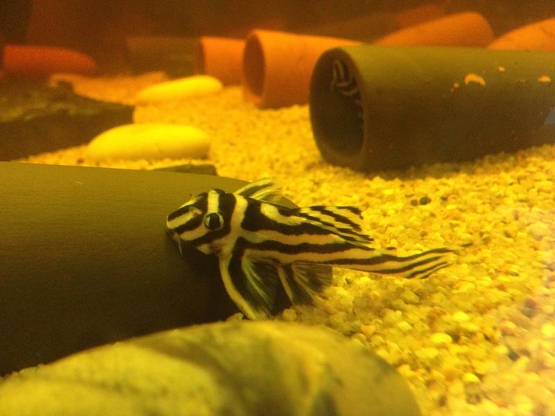 aventure qui commence fort.... Hypancistrus zebra l46 Image11