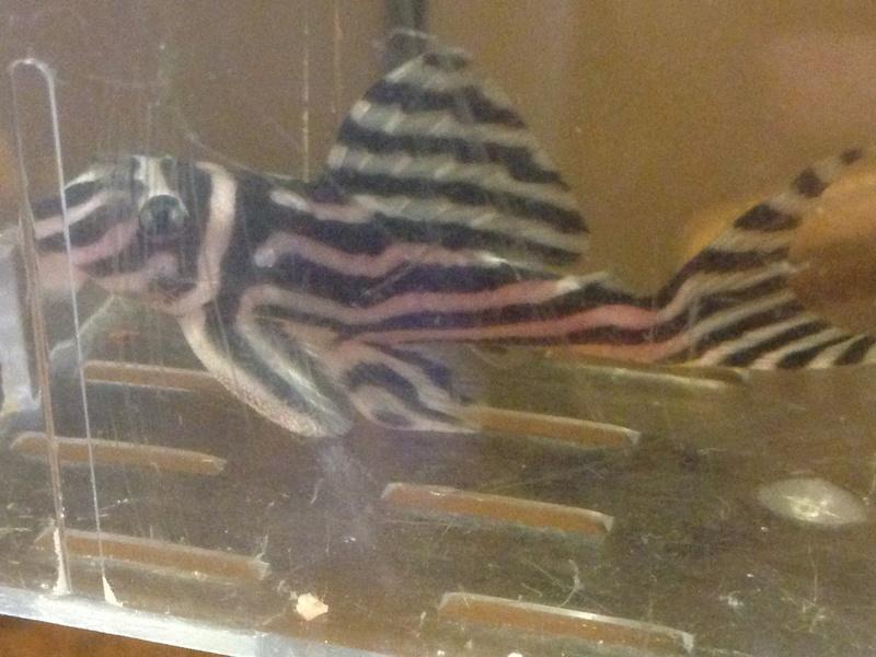 aventure qui commence fort.... Hypancistrus zebra l46 Image27
