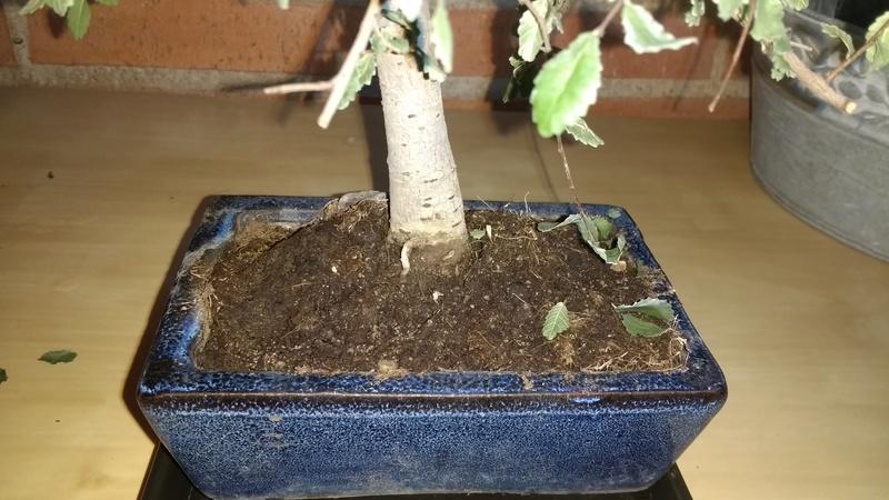Zelkova problema con hojas, posible plaga Img_2010