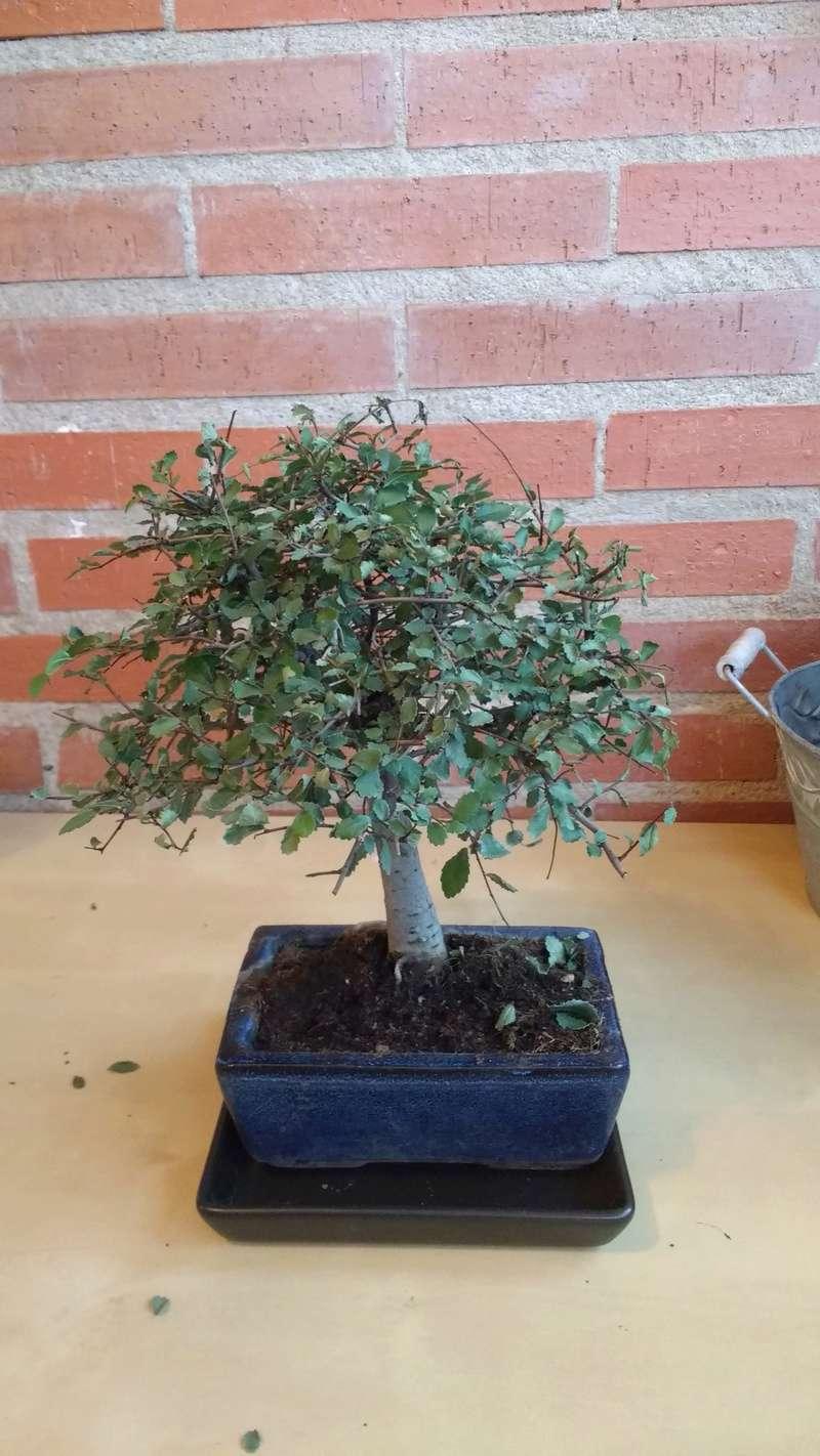 Zelkova problema con hojas, posible plaga Img_2012