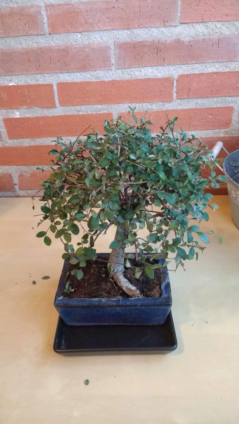 Zelkova problema con hojas, posible plaga Img_2013