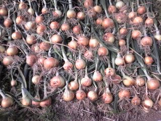 Harvest time. Img02011