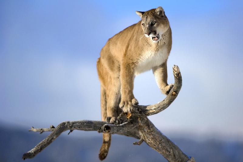 Croquis postures - Page 2 Puma10