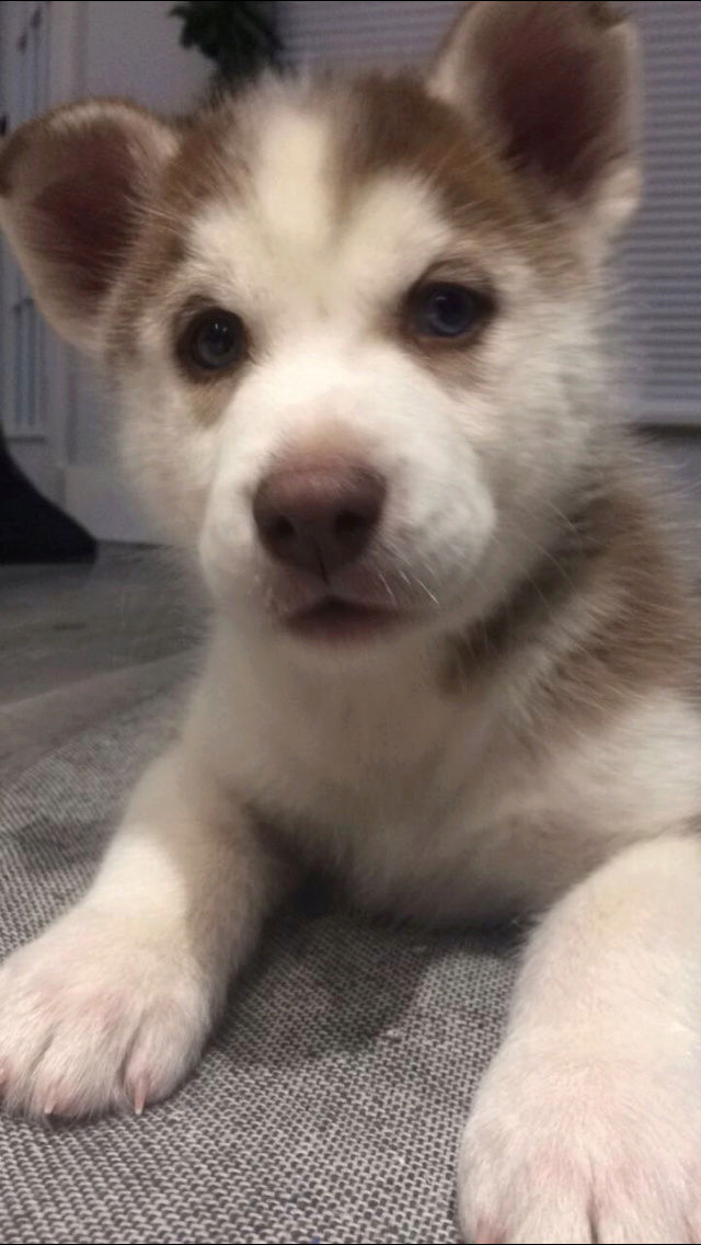 Is my female husky too small Img_1811