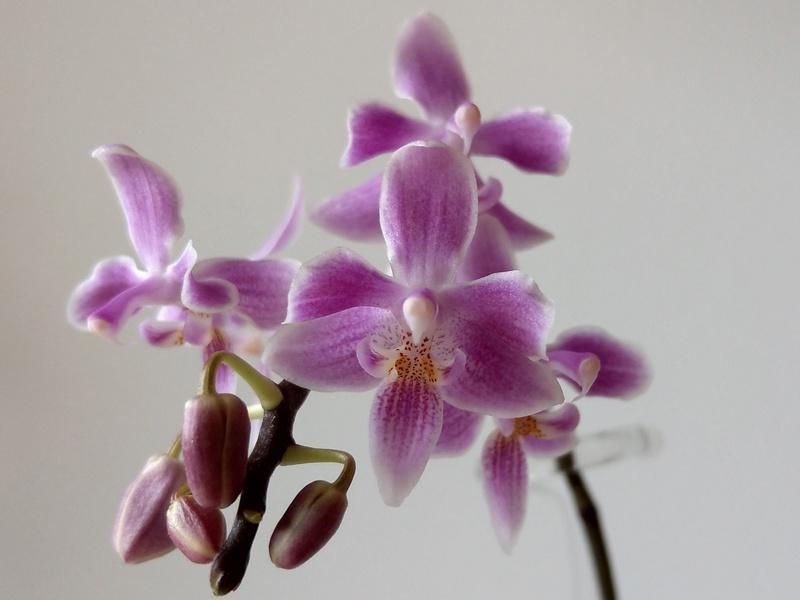 Phalaenopsis celebensis x equestris (Silbergrube) Imag0028
