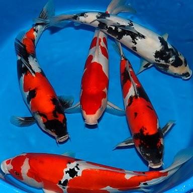 Mon aquarium Carpe-10