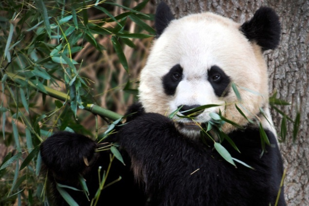 Panda Géant d'Asie a exploiter Panda_11