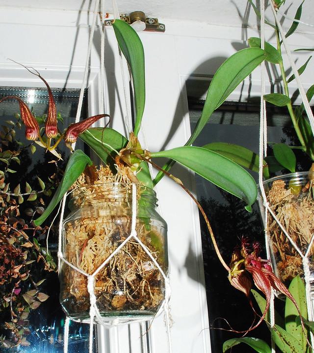 Orchideenkultur in Gläsern Bulbop10
