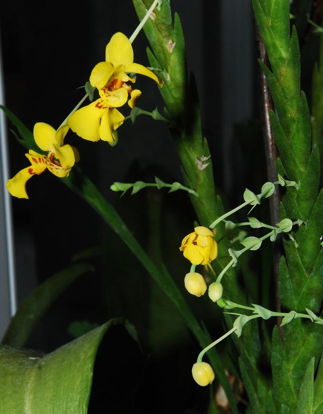 Orchideenkultur in Gläsern Lockha10