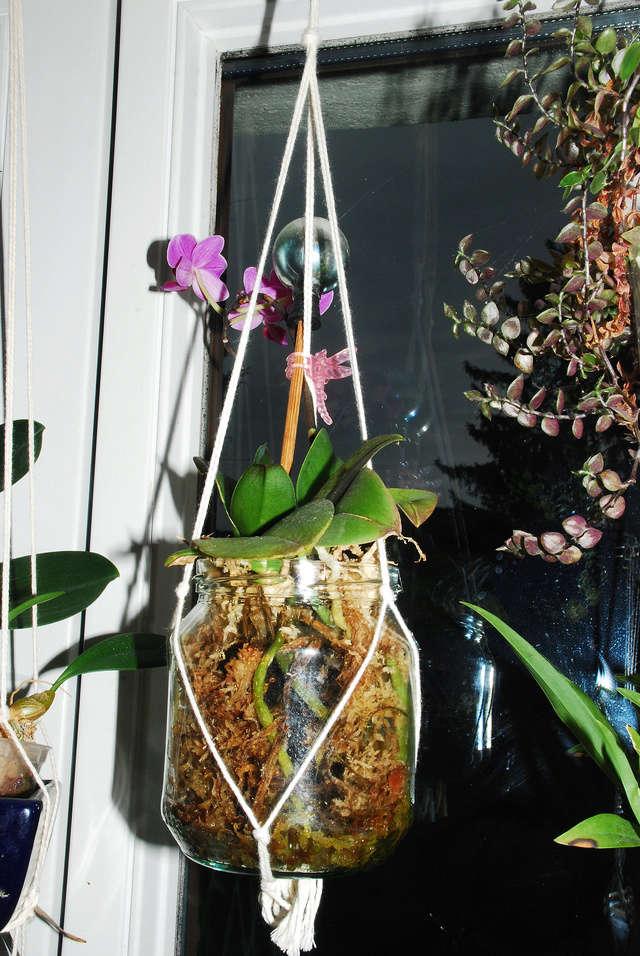 Orchideenkultur in Gläsern Phalae10