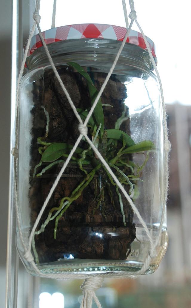 Orchideenkultur in Gläsern Sophro10