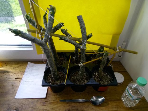 Ma récolte de bouture de frangipanier du mois d'Aout de Thailande... Img_0311